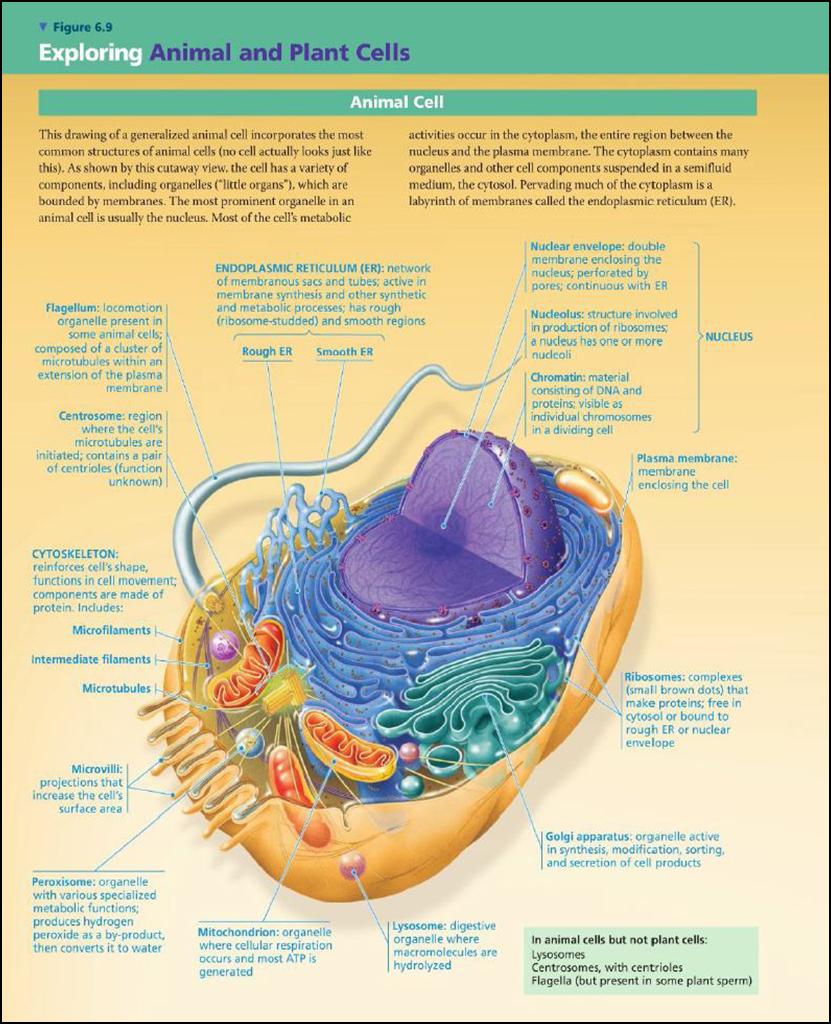 Perbedaan Sel Prokariotik Dan Sel Eukariotik Adinda491